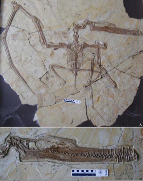 Zhenyuangopterus